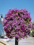 Réverbère avec les paniers accrochants colorés de fleur de pétunia Photo libre de droits