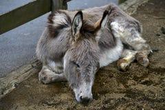 Rêvé de l'âne Photos libres de droits