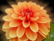 Rêve au sujet de dahlia orange Images libres de droits