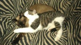 Rêve infiniment doux des chats Photos libres de droits