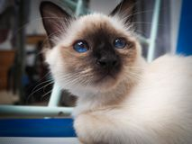 Rêver de chat de Birman images libres de droits