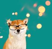 Rêver le chien heureux d'inu d'akita avec les verres noirs se reposant sur le fond vert avec des étincelles photo stock