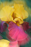 Rêves d'iris Photographie stock