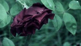 Rêveur, conte de fées Rose clips vidéos