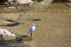 Río blanco del pájaro de la garceta fotografía de archivo