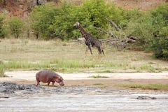 Río con el hipopótamo y la jirafa Fotografía de archivo