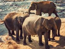 Río de la atracción de los elefantes Imágenes de archivo libres de regalías