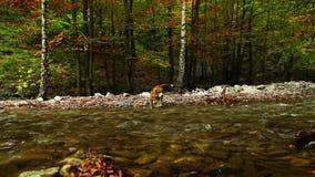 Río de la montaña en el otoño con cantidad del perro HD del beagle del cazador