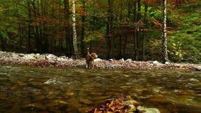 Río de la montaña en el otoño con cantidad del perro HD del beagle del cazador metrajes