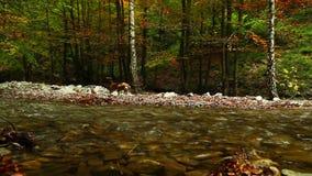 Río de la montaña en el otoño con el perro del beagle del cazador almacen de metraje de vídeo