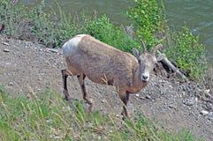 Río de las ovejas de Bighorn Fotografía de archivo