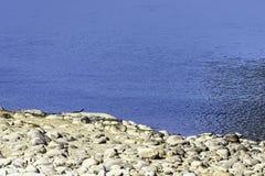 Río de Ramganga y gharial, también conocido como el gavial, y pescado-consumición del cocodrilo - Jim Corbett National Park, la I fotos de archivo libres de regalías