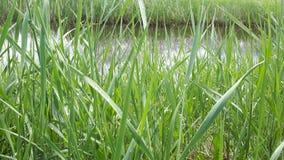 río del lago de la hierba verde fotos de archivo libres de regalías