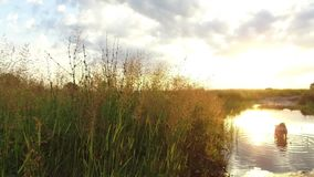 Río e hierba del lago nature en la luz del sol de la puesta del sol El perro se lava en el vídeo de movimiento del tiro del stead Fotografía de archivo libre de regalías