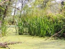Río juncoso y de la lenteja de agua Fotos de archivo libres de regalías