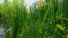 Río que fluye hermoso con las flores bastante amarillas en el primero plano en verano Punto de vista de la flor amarilla que alin almacen de metraje de vídeo