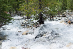 Río salvaje a través de un bosque del pino Fotos de archivo libres de regalías
