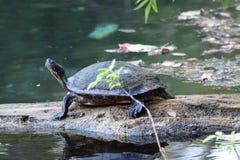 Río Silver Springs la Florida de la plata del registro de la tortuga del resbalador Foto de archivo