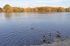 Río y patos de Moscú Otoño Fotos de archivo libres de regalías