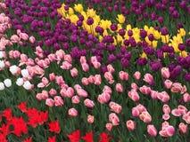 Ríos de tulipanes Imágenes de archivo libres de regalías