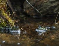Rñs-gigantes na lagoa que ejoying o dia ensolarado fotografia de stock