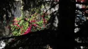 Róż gałąź sosnowe i podeszczowe zbiory