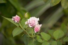 Róż menchii kwiat mawar berduri bunga mawar obraz stock