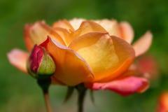 Róża obrazy stock