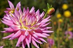 Róża barwiący dalia kwiat Zdjęcie Stock