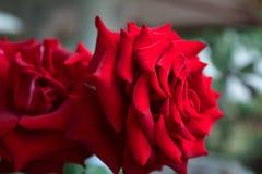 Róża czerwone róże, podejście obraz stock