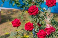 Róża jest odrewniałym odwiecznie kwiatonośnym rośliną genus Rosa rodzinny Rosaceae krzaka ostrza prickles Słońce kocha kwiaty w w obraz royalty free