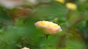 Róża kwiaty okwitnięcie i fala zbiory wideo