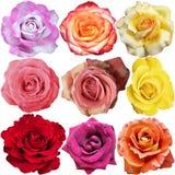 Róża kwiaty Obrazy Stock