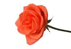 Róża pączek obraz stock