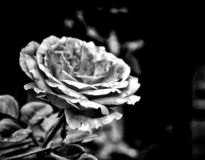 Róża patrzeje jak robią papier zdjęcia royalty free