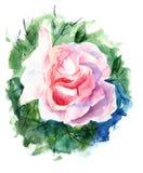 Róża piękni kwiaty Obrazy Royalty Free