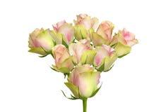 Róża różowi pączki Obrazy Royalty Free