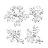 Róża rysunek kwitnie, Pociągany ręcznie Dzika róża odizolowywająca Botaniczni rysunki, Barwi stronę, Wektorowy wrzosiec Wzrastali Fotografia Royalty Free