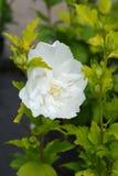 Róża Sharon bielu szyfon obraz stock