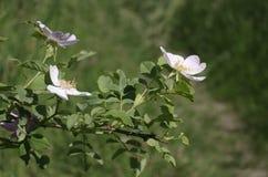 Różana biodro gałąź Zdjęcia Stock