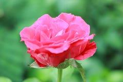 Różana colour róża Obraz Royalty Free