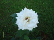 Różana czerwień w ogródzie Zdjęcia Stock