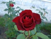 Różana czerwień w ogródzie Obrazy Stock