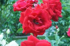 Różana czerwień z komarnicą zdjęcia stock