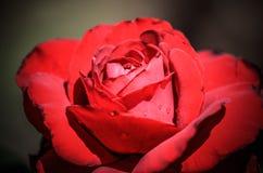 różana czerwieni miękka część Zdjęcie Royalty Free