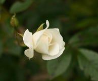 różana góra lodowa rozmaitość Obraz Royalty Free