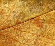 Różana liść tekstura Fotografia Stock