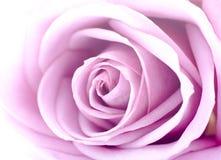różana menchii miękka część Fotografia Royalty Free