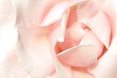 różana menchii miękka część Obrazy Stock