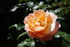 Różana pomarańcze zdjęcia royalty free